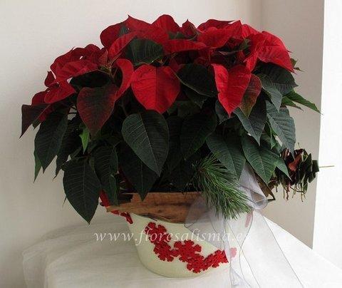 Flores Alisma - Centro de Poinsettias rojas - Flores Alisma