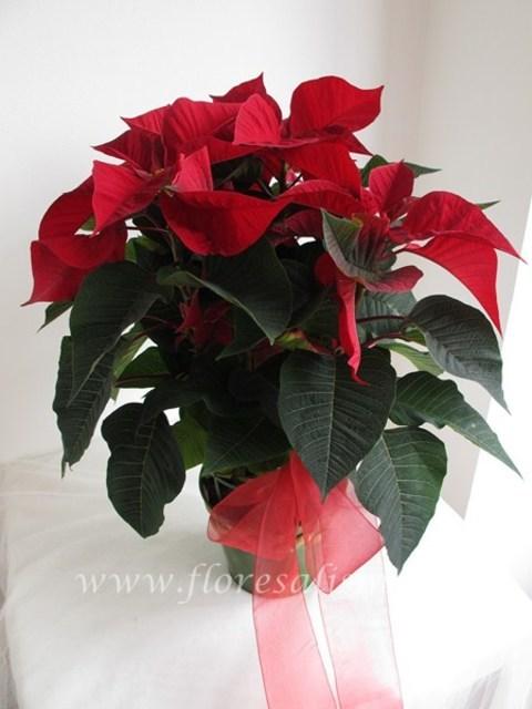 Flores Alisma - Poinsettia decorada con macetero - Flores Alisma