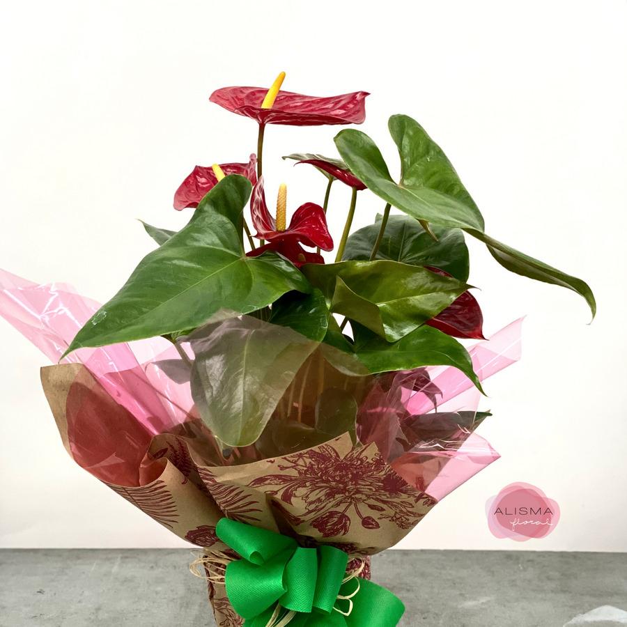 Flores Alisma - Anthurium - Flores Alisma