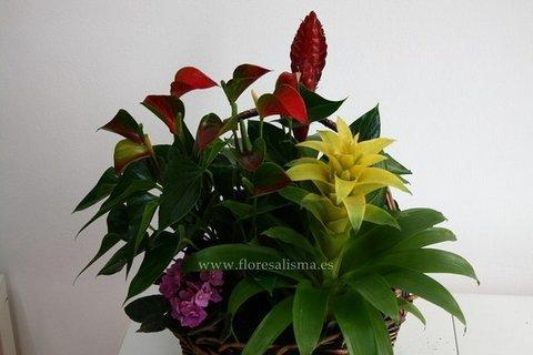 Flores Alisma - Plantas en tiempo de reposo - Flores Alisma