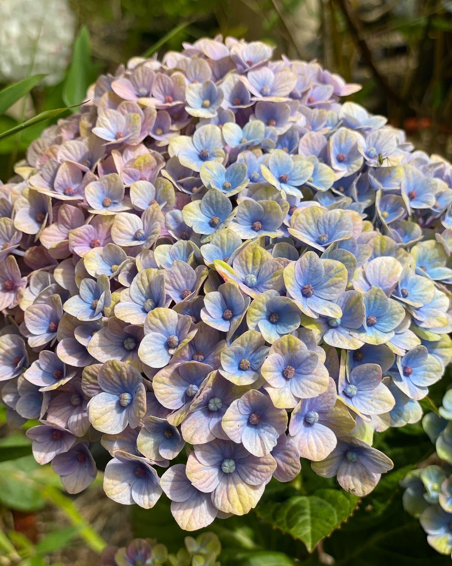 Flores Alisma - Hortensia - Flores Alisma