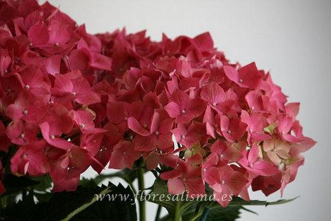 Flores Alisma - Hydrangea  - Flores Alisma
