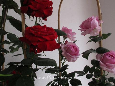 Flores Alisma - Rosal - Flores Alisma