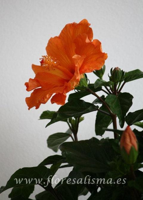 Flores Alisma - Hibiscus - Flores Alisma