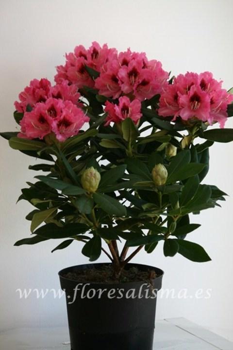Flores Alisma - Rododendro, Rhododendron spp - Flores Alisma