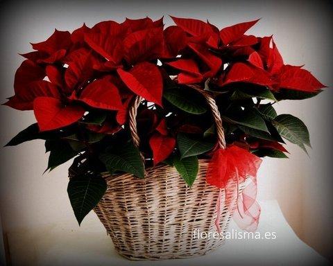 Flores Alisma - Cesta de Poinsettias - Flores Alisma