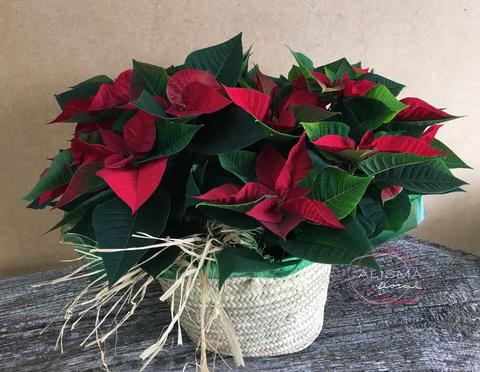 Flores Alisma - Dueto de Poinsettias - Flores Alisma
