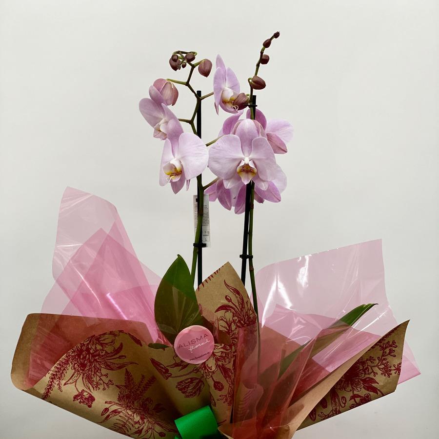 Flores Alisma - Phalenopsis