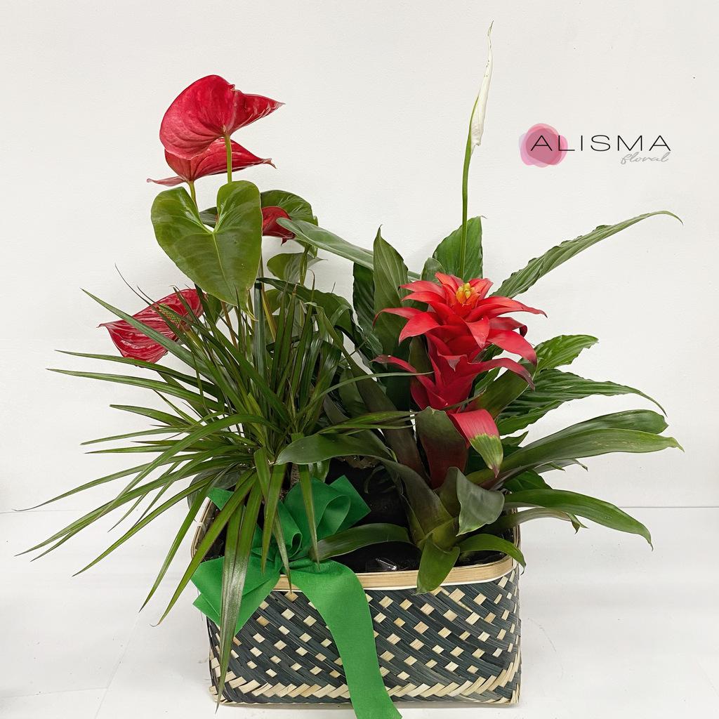 Flores Alisma - Cesta de plantas - Flores Alisma