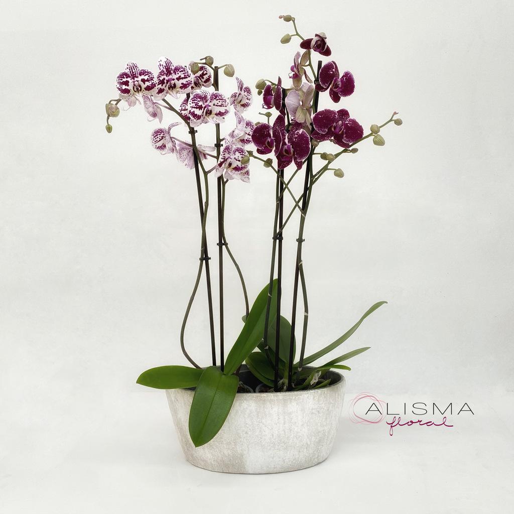 Flores Alisma - Centro de phalenopsis  - Flores Alisma