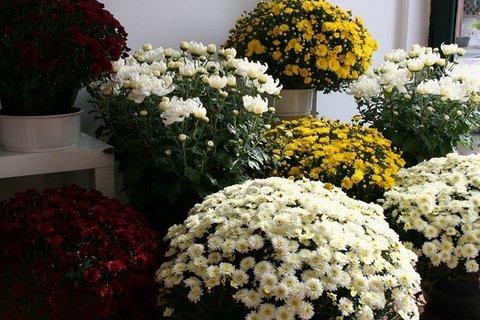 Flores Alisma -  1 de Noviembre, Día de todos los Santos  - Flores Alisma